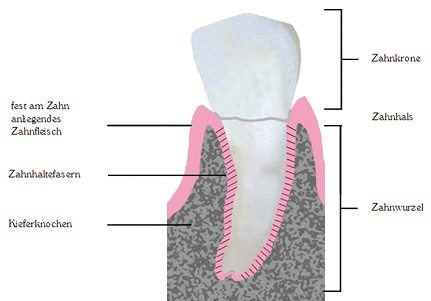 Ein gesunder Zahn mit gesundem Zahnfleisch